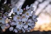 実家の春2