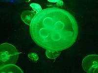 jelly fish3(shou )