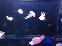 jelly fish5(shou )