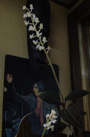2011.3.19繻子蘭02