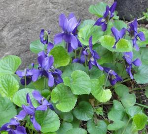 2011.3.15すみれblog01
