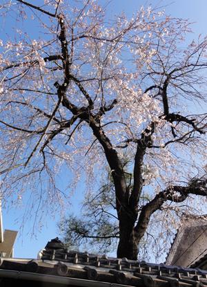 2011.3.27桜blog01
