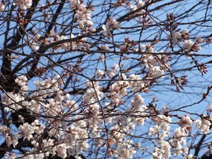 2011.3.27桜blog02
