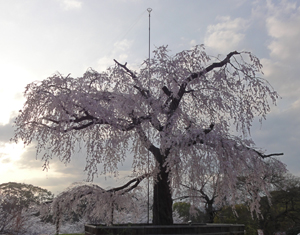 円山公園blog01