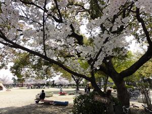 大島桜blog01