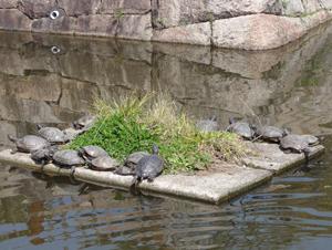 城跡公園亀blog01