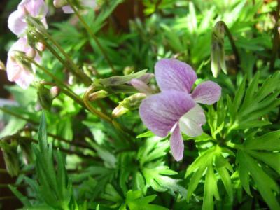 紅花ヒラツカ