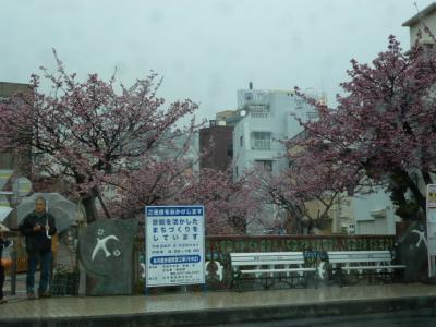 熱海付近の河津桜