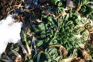 畑の野菜7