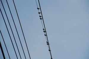 電線のスズメ25