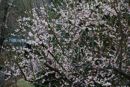 満開梅の花1