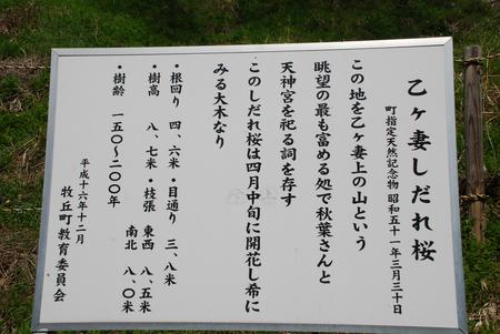 桜見物17