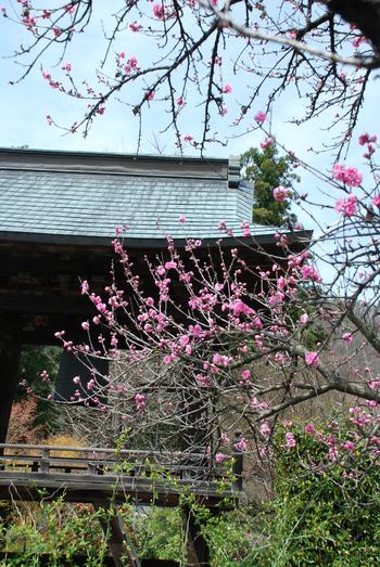 梵鐘と花桃87