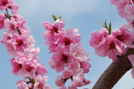 桃の花11