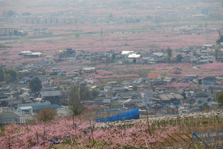 甲府盆地ピンクの絨毯15