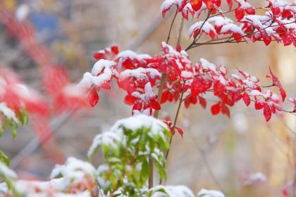 雪紅葉004