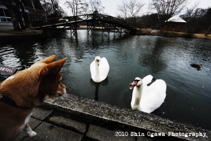塩沢湖_白鳥0002