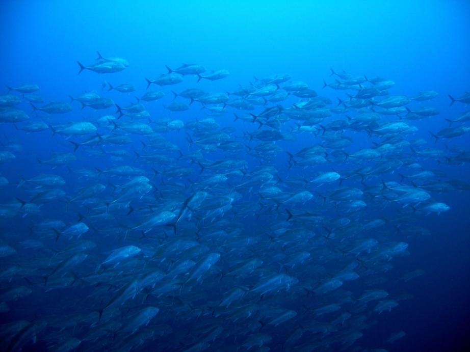 2010.10.11 アポ島コゴン ロウニンアジⅡ