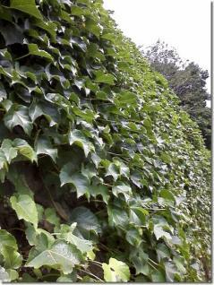 蔦で覆われる壁