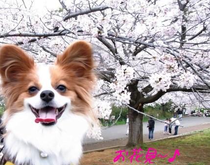青葉の森 桜とラビ