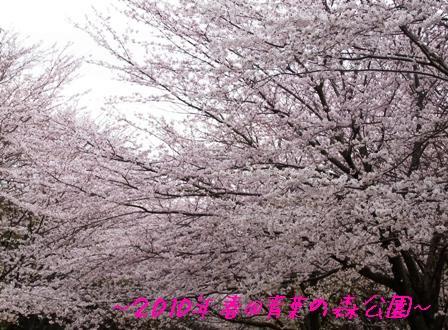 青葉の森 桜