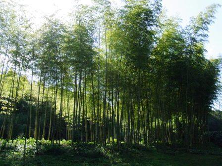 昭和の森公園竹林