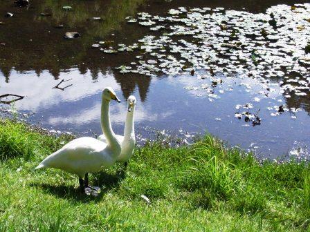 昭和の森公園白鳥?