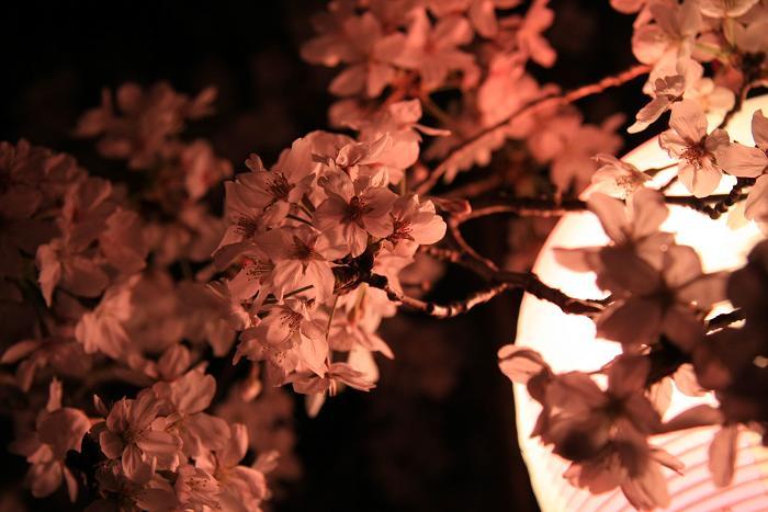 妙見夜桜、3