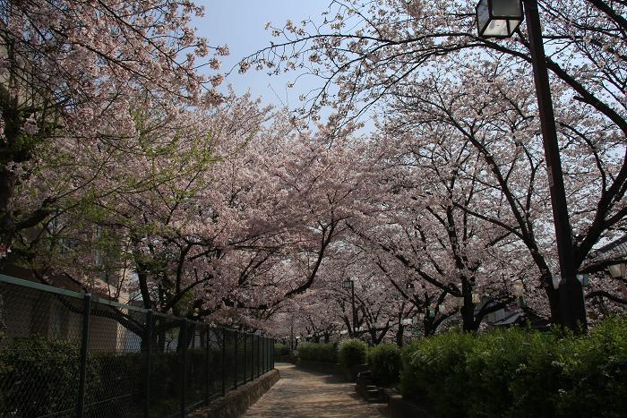 うちの近所の桜、1