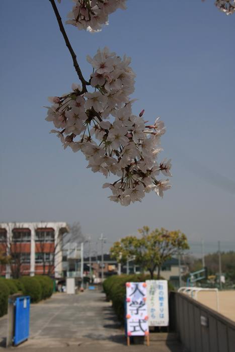 うちの近所の桜、4