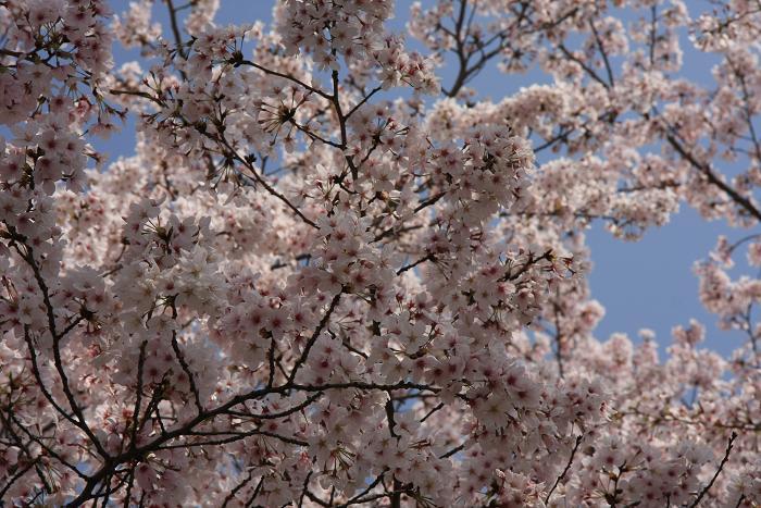 うちの近所の桜、2
