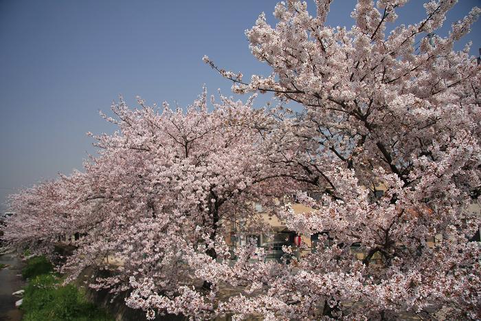 うちの近所の桜、5