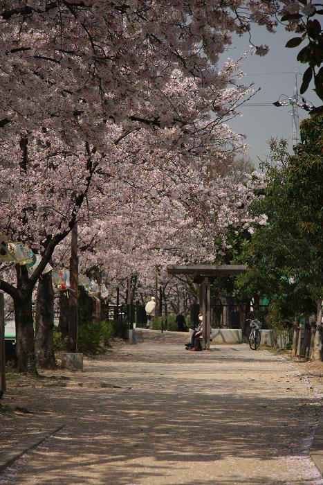 家の近所の桜、5