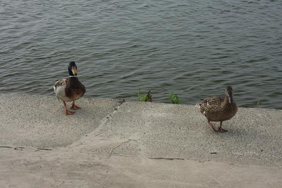 餌をねだる鴨2