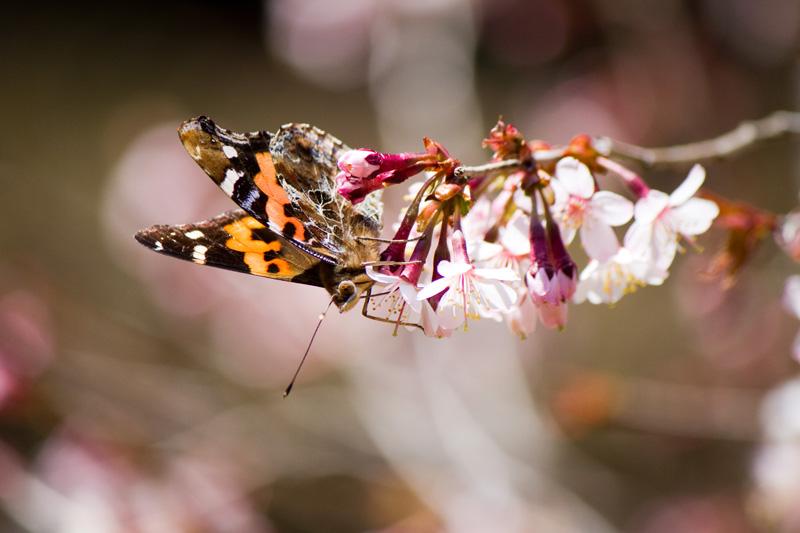 桜とアカタテハ