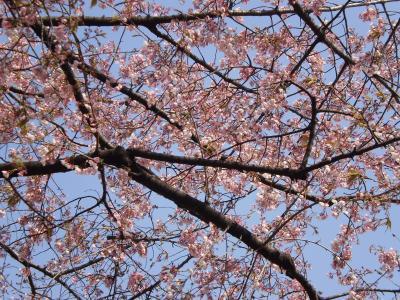 すみだがわの桜