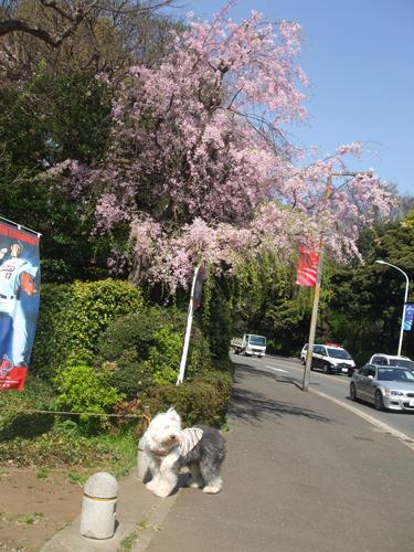 枝垂れ桜の前で