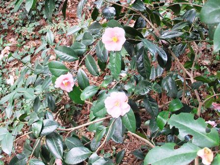 2011.3.16  春の椿の花 014