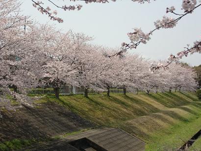 調整池の桜