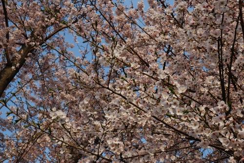 20110522 梅も桜も.jpg