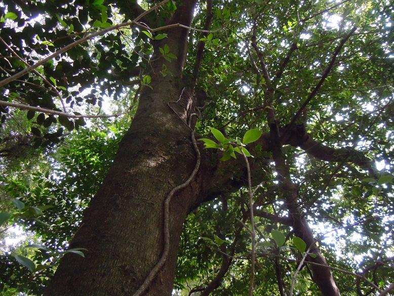 金山八幡宮の常緑広葉樹林。
