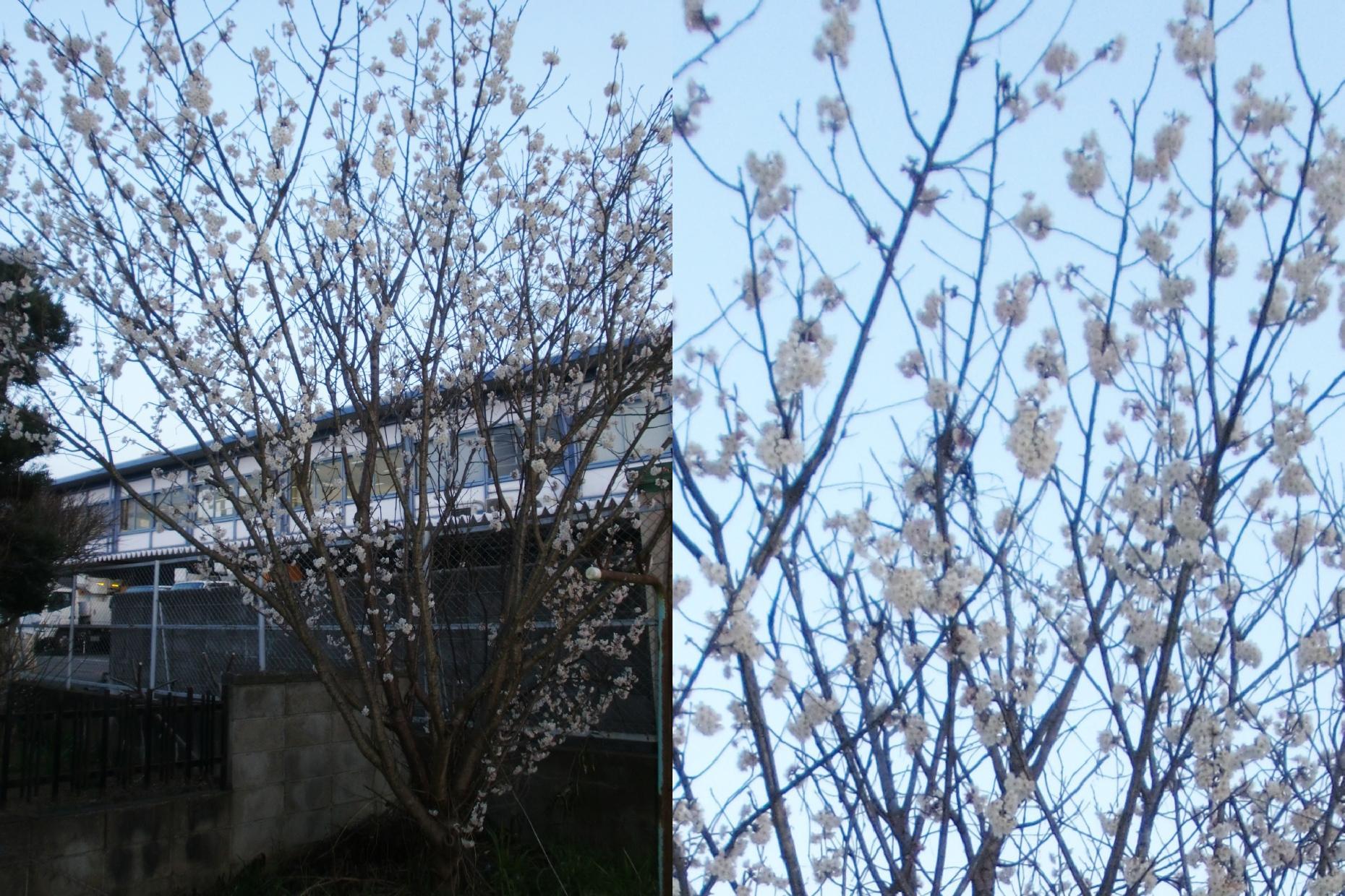 雨戸を閉めようとしたら桜が咲いていました♪(私もどうにか再スタートし、地球温暖化対策に再び貢献したいと思います!)