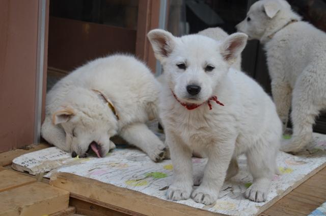 12月14日産まれなな子犬8