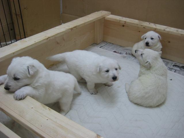 2012.2.1ローダー子犬3