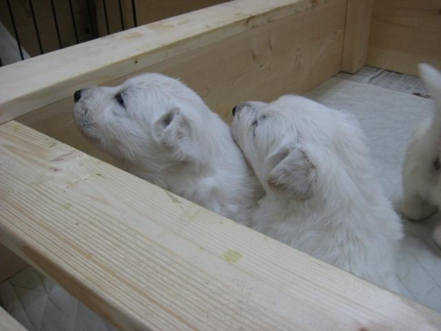 2012.2.1ローダー子犬5