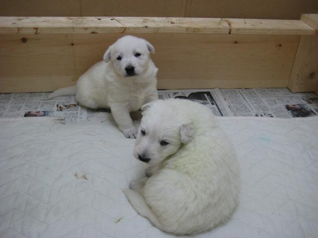 2012.2.1ローダー子犬7