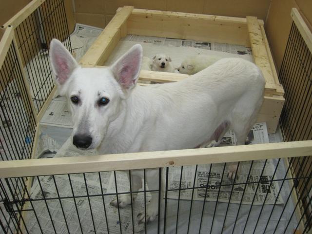 2012.2.1ローダー子犬4