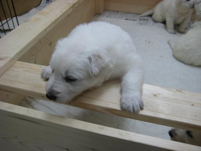 2012.2.1ローダー子犬2