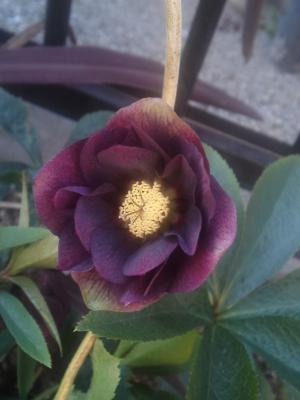 クリロー紫A3.22