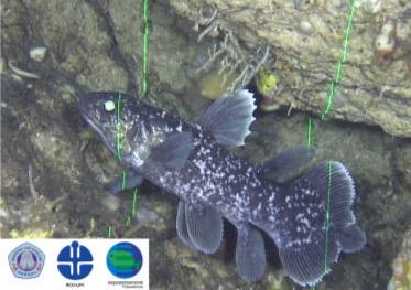 インドネシアシーラカンスの稚魚